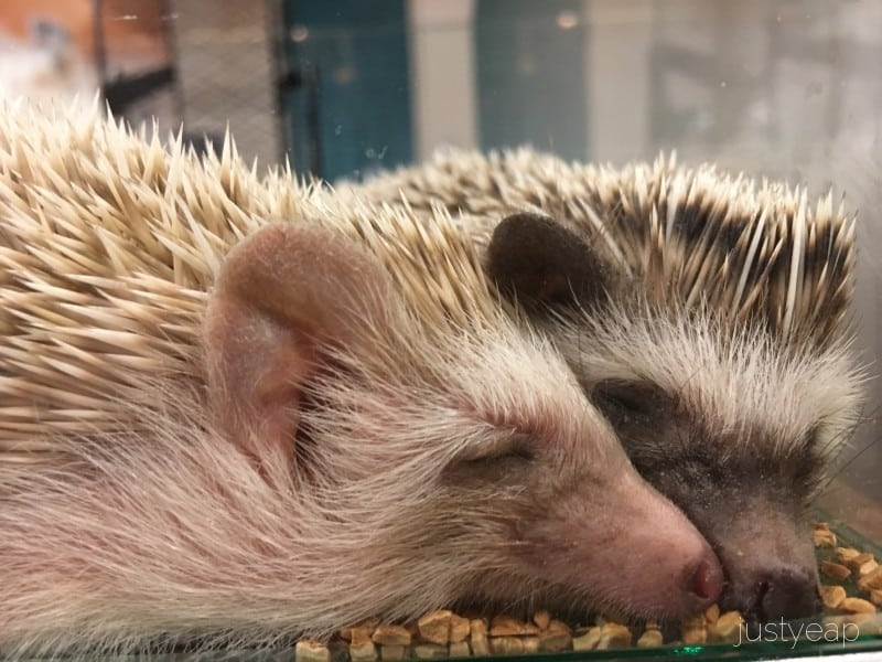Hedgehog_Cafe_.Sleeping