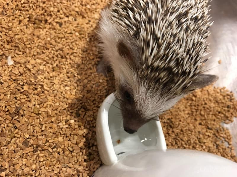 Hedgehog_Cafe_Brown_White