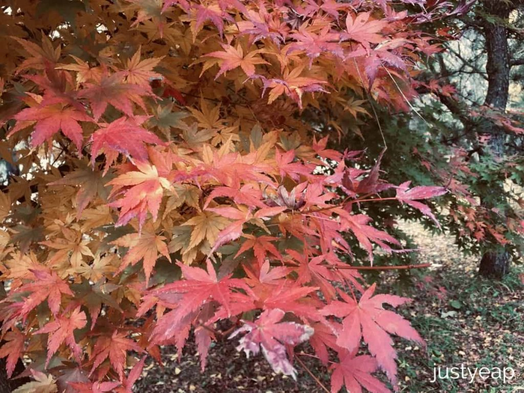 Maple leaves, Oishi Park